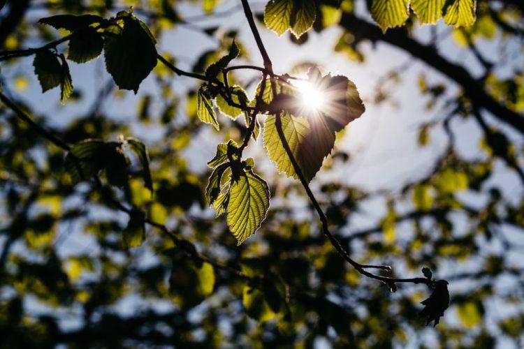 sun_rays_through_hazel_leaves-1024x683